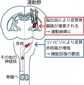 皮質赤核路